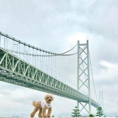 初✨明石大橋参上✌️ 天気悪い時に行ってしもうたからな。 その代わりめっちゃ空いててん\ ♪♪ / 晴れてたら遠くに神戸見えるらしいねん。 はい、残念さーん。🐶とかち #きょうのとかちさん #トイプードル#とかち #わんこ #わんこ部 #お散歩 #ふわもこ部 #toypoodle #dog #dogs #犬 #愛犬 #愛犬部 #わんこなしでは生きていけません会 #わんこ大好き #instadog #dogstagram #cute  #写真好きな人と繋がりたい#写真撮ってる人と繋がりたい#inutokyo #ig_dogphoto #といぷー #といぷーどる #といぷーどる部 #いぬばか部 #お写ん歩 #sony #明石大橋 #淡路島