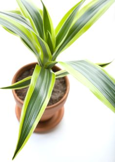Best Indoor Plants to remove Air pollution and toxins from the home