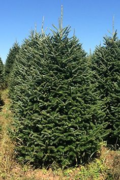 from real christmas trees delivered 65 7 ft fresh cut premium grade fraser fir christmas tree delivered - Real Christmas Trees Delivered