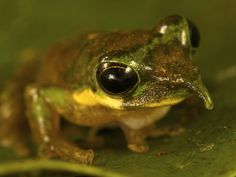 """Water-holding frog (Cyclorana platycephala) ~ from Australia, can hold water and bury itself during the rainy season and """"hibernate"""" for up to 2 YEARS ~ until another rainy season. Interesting video..."""