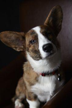 My boy Mulligan. #corgi #dogs #love