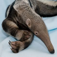 National Zoo's Anteater Pup Thrives after Rocky Start Cute Wild Animals, Rare Animals, Animals Images, Animals And Pets, Animal Pictures, Funny Animals, Armadillo, Beautiful Creatures, Animals Beautiful