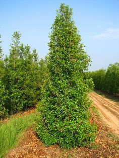 Sabin juniperus width walking juniper mature