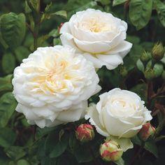 David Austin Rosen, Deadheading Roses, Rose Foto, English Garden Design, Rose Delivery, Rose Care, Shrub Roses, Thornless Roses, Rose Trees