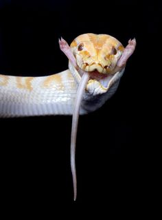 Albino Burmese Python snake by on deviantART Les Reptiles, Reptiles And Amphibians, Mammals, Beautiful Snakes, Animals Beautiful, Python Royal, Animals And Pets, Cute Animals, Unique Animals
