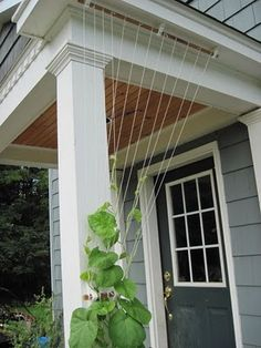 Temporary trellis for morning glories or other annual vines