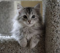Siberian cats lack/have less of the protein that allergy suffers react to. A beautiful, snuggly Siberian cat. You will be my kitty baby someday! Siberian Kittens, Fluffy Kittens, Cute Cats And Kittens, Kittens Cutest, Fluffy Cat, Small Kittens, Funny Kitties, Pretty Cats, Beautiful Cats