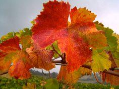Vitis vinifera leaves in autumn Vitis Vinifera, Autumn, Fall, Leaves, Fruit, Fall Season, Fall Season, Vines