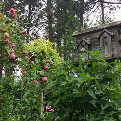 This rugged worn birdhouse gives my garden a bit of country style prettiness. I love the weathered worn look that reclaimed wood gives to my garden. #countrygarden #cottage #cottagegarden  #cottagegardenstyle #roses #pink #garden #gardens #weathered #weatheredwood #plants#green #englishgarden #birdhouse #birdhouses