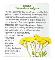 Tansy uses