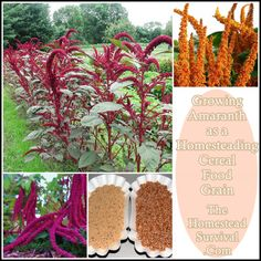 The Homestead Survival | Growing Amaranth as a Homesteading Cereal Food Grain | http://thehomesteadsurvival.com