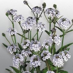 Polaris verbena flower spikes
