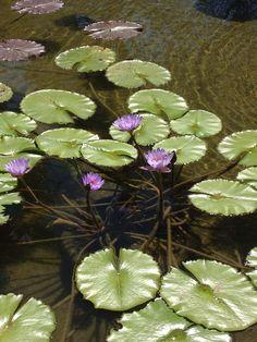Photo I took of the water garden pond in cedar park