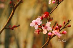 Cherry blossom. Shot by Vito Russi. #pink #blossom #spring #flower #photography #nature #stillife #ashotintheeye