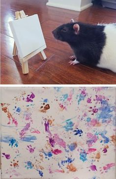 This rat is an artist!<<that's a rat mate you tried Funny Rats, Cute Rats, Animals And Pets, Funny Animals, Cute Animals, Strange Animals, Hamsters, Pet Rodents, Rat Care