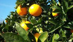 Cómo cultivar un naranjo en maceta