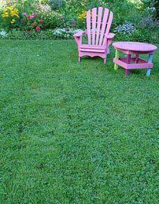 Clover Lawns Make a Come Back ! Low maintenance lawn alternative. Great idea!