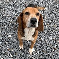 Burnsville North Carolina Beagle Meet Elmer A For Adoption