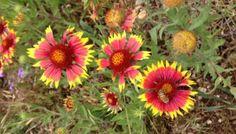 How to Grow Gaillardia (Blanket Flower)