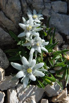 Flowers Nature, Blue Flowers, Wild Flowers, Beautiful Flowers, Alpine Flowers, Alpine Plants, Edelweiss, My Flower, The Great Outdoors