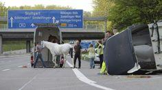 Zwei Pferde liefen auf der Autobahn A 81 umher, als sie sich aus einem umstürzenden Pferdeanhänger befreien konnten