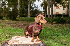 Short Haired Dachshund, Dog Lovers, Dogs, Animals, Quilting, Style, Houses, Animales, Animaux