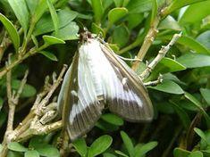 vlinder van buxusmot