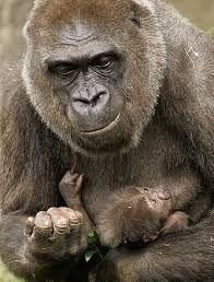 Resultado de imagem para gorila gigante