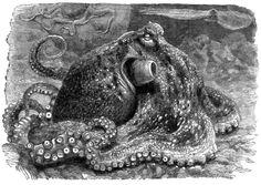 Octopus print.  'Sea Monsters Unmasked' by Henry Lee, 1883.