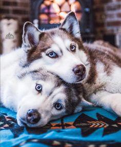 The Siberian Husky. If I lived in Alaska or something and insanity a lot . - The Siberian Husky. If I were to live in Alaska or something and insanity would have a lot of time - # Alaskan Husky, Siberian Husky Puppies, Husky Puppy, Siberian Huskies, Baby Huskies, Cute Puppies, Cute Dogs, Dogs And Puppies, Doggies