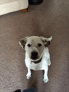 Meet Bella, a Petfinder adoptable Labrador Retriever Dog | Warrington, PA | Hi my name is Bella and I am about 2 1/2 years old and weigh about 55 pounds. Don't you love my...