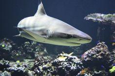 Shark Week 2016: Researchers Tag More than 1,000 pound Mako Sharks for 'Return of Monster Mako' - http://www.morningnewsusa.com/shark-week-2016-return-of-monster-mako-2385660.html