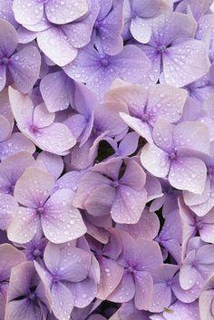Photograph of Lilac hydrangea flowers. Rights managed image. Hydrangea Flower Photos, Blue Hydrangea, Flowers Nature, Exotic Flowers, Types Of Flowers, Beautiful Flowers, Macro Flower, Christmas Rose, Purple Lilac