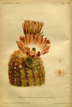 175204 Echinocereus pectinatus (Scheidw.) Engelm. var. robustus / Gartenflora [E. von Regel], vol. 39: t. 1331 (1890)