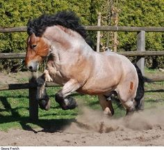 Rhenish-German Coldblood stallion Enzo
