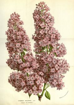 Lilacs. It warms my soul when I see the first ones in Spring.