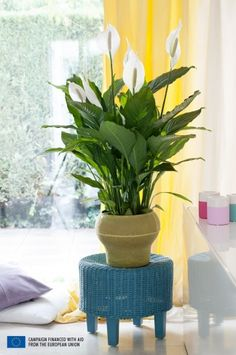 In June 2015 the Peace Lily, also known as the Spathiphyllum, stands on a pedestal as Houseplant of the month. The story of the Peace Lily Low Maintenance Indoor Plants, Lily Care, Peace Lily, Plantar, White Decor, Calla Lily, Home Decor Trends, Decoration, House Plants