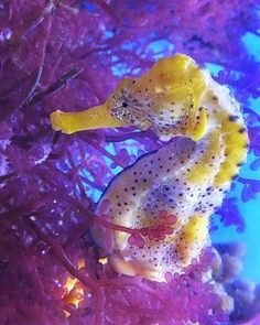 Beautiful sea horse. They mate for life and enact a daily courtship ritual involving dancing and changing colours. The male becomes pregnant!