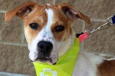 Adopt a Boxer / Beagle / Mixed (short coat) Dog named Carlotta from Fort Wayne, IN 46885