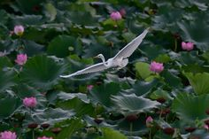 Great egret in Lotus Field by Mubi.A