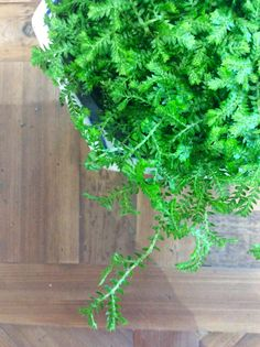 Selaginella  A lovely mossy perennial with dainty fern like leaves.  Thrives in anyway shady and cool environments  $8.50