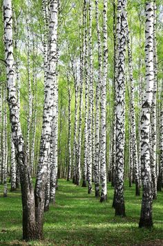 Birch tree wall mural with dramatic black & white bark patterns against backdrop of spring leaves. Choose your mural size and material. Free US shipping. Birch Tree Mural, Tree Wall Murals, Birch Trees, Tree Branch Tattoo, Oak Tree Tattoo, Willow Tree Wedding, Live Christmas Trees, Murals Your Way, Live Oak Trees