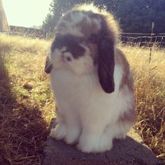 Broken tort Holland Lop buck.