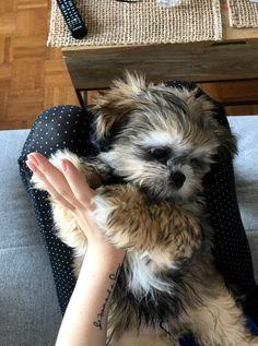 My Shi Poo Obi #shipoo #shitzupoodle #puppies Bear Dog Breed, Teddy Bear Dog, Dog Breeds, Shipoo Puppies, Shih Poo, Shih Tzus, Short Hair Cuts For Women, Sheltie, New Puppy