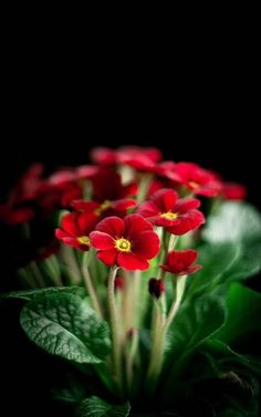 Fauna and Flora are two terms frequently heard by people who spend amount of time in nature. Red Flowers, Pretty Flowers, Flowers Bunch, Flowers Garden, My Flower, Flower Power, Primroses, Flower Wallpaper, Amazing Flowers