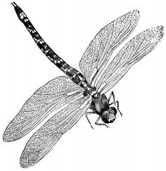 Vintage engraved illustration of a dragonfly, isolated against white  Stock Photo