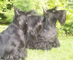 What could be better than one Scottie?  A pair of Scotties...of course.