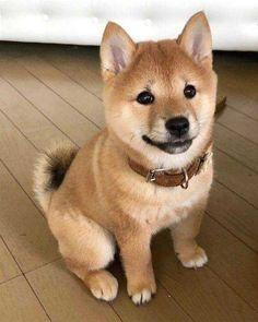 Shiba Inu puppies are cute - Imgur