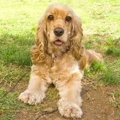 I got Cocker Spaniel - What Type of Dog Should You Get? - Take the quiz!