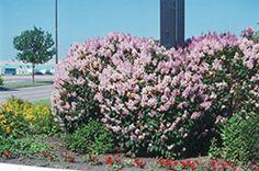 Minuet Lilac (Syringa x prestoniae 'Minuet') at Minor's Garden Center